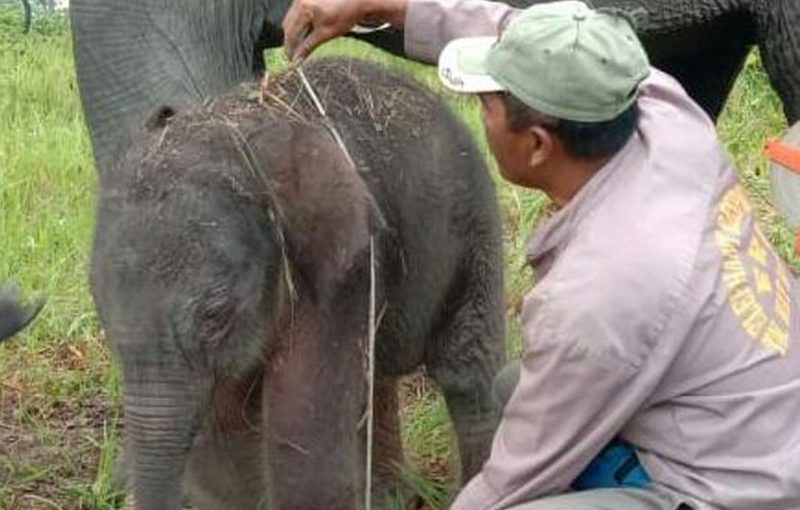 Gajah jinak Meli di Way Kambas melahirkan