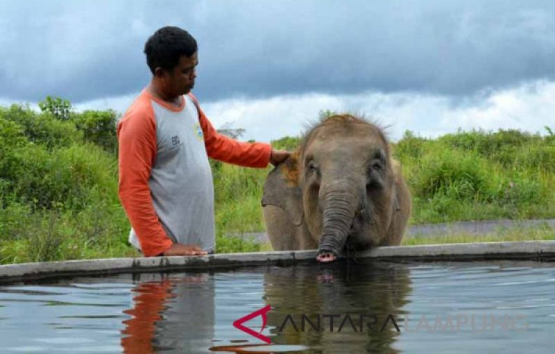 Bupati Chusnunia Kembali Ajak Peduli Gajah 'Erin'