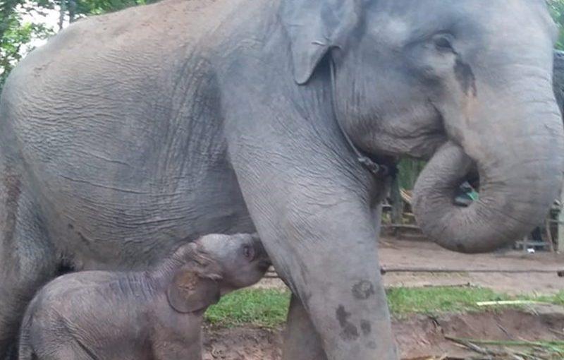 Bayi Gajah Jantan Lahir di TNWK
