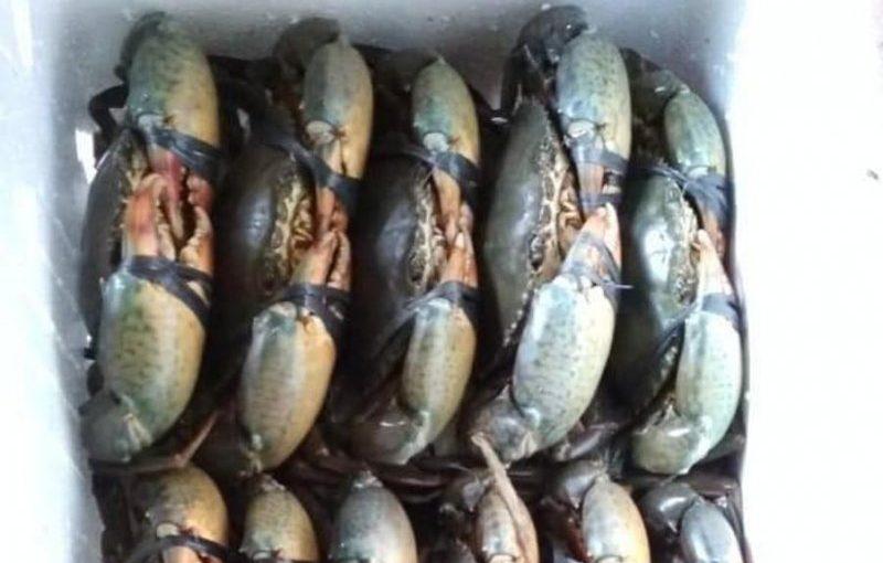Harga Kepiting Bakau di Lampung Timur Rp120 ribu
