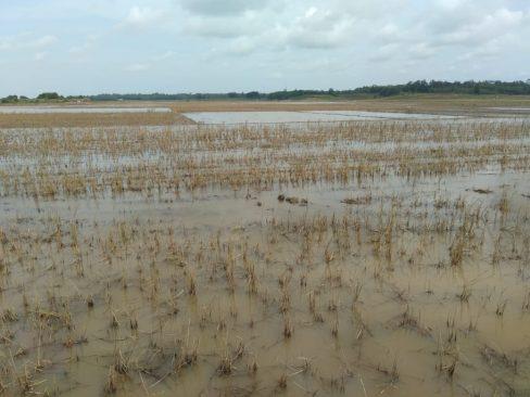 Tiap Musim Hujan, 250 Hektare Sawah di Desa Brajahluhur Lamtim Selalu Gagal Panen